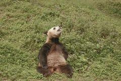 Panda Conservation Area Chengdu Royaltyfri Bild