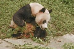 Panda Conservation Area Chengdu Arkivbilder