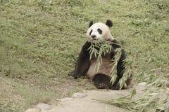Panda Conservation Area Chengdu Arkivfoton
