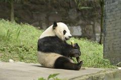 Panda Conservation Area Chengdu Royaltyfri Foto