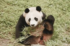 Panda Conservation Area Chengdu Royaltyfria Bilder