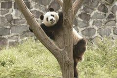 Panda Conservation Area Chengdu Arkivbild