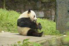 Panda Conservation Area Chengdu Fotografering för Bildbyråer