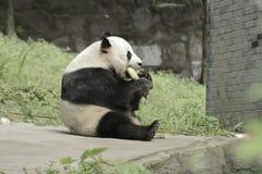 Panda Conservation Area Chengdu Royaltyfri Fotografi