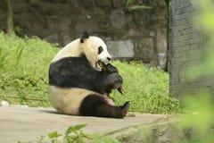 Panda Conservation Area Chengdu Royaltyfria Foton