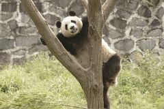 Panda Conservation Area, Chengdu Stock Photography