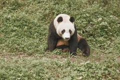 Panda Conservation Area, Chengdu Stock Image