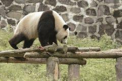 Panda Conservation Area, Chengdu Stock Images