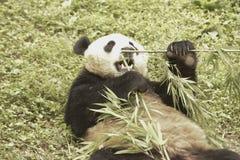 Panda Conservation Area, Chengdu Royalty Free Stock Images
