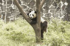 Panda Conservation Area, Chengdu Stock Photos