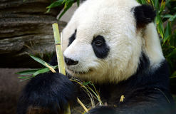 Panda Contemplates His Vegetables. A Panda Bear considers his bamboo shoot dinner before taking a bite Stock Image