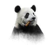 Panda contemplator. Panda smokes Cuban cigar, contemplating the vanity of this world Royalty Free Stock Images