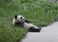 Panda Cub. A panda cub is resting on the ground Royalty Free Stock Image