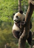 Panda cub. Cute young panda sitting on a tree Royalty Free Stock Photo