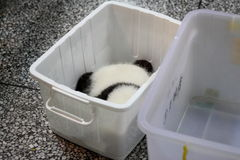 Panda cub in box. A pandas cub is sleeping in a plastic box in Chengdu Research Base of Giant Panda Breeding which is a non-profit research and breeding facility Royalty Free Stock Image