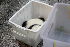 Panda cub in box Royalty Free Stock Image