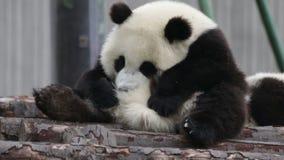 Panda Cub dulce, China metrajes
