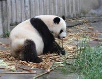 Panda  cub eating bamboo. Panda lying on the floor eat Royalty Free Stock Image