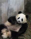 Panda  cub eating bamboo. Panda lying on the floor Look at the camera Royalty Free Stock Image