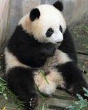 Panda  cub eating bamboo. Panda lying on the floor eating bamboo shoots Royalty Free Stock Photography