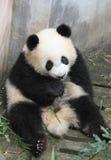 Panda  cub eating bamboo. Panda lying on the floor eating bamboo shoots Royalty Free Stock Images