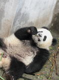 Panda  cub eating bamboo. Panda lying on the floor eating bamboo shoots Royalty Free Stock Image
