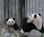 Panda  cub eating bamboo Royalty Free Stock Image