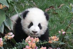 Panda Cub juguetón en Chengdu Panda Base, China Imagenes de archivo