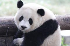 Panda Cub juguetón mullido en Chongqing, China Imagenes de archivo