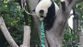 Panda Cub macio em Chengdu Panda Base, China filme