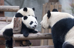 Panda cub and mother panda playing Stock Images