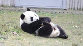Panda Cub pequeno feliz está estabelecendo na grama verde filme
