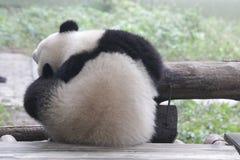 Fluffy Panda Cub in Chongqing. Panda Cub is Rubbing his Face Stock Image