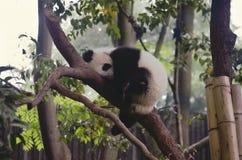 Panda cub sleeping on a tree royalty free stock photo