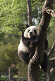Panda cub sleeping on a tree.Version II Royalty Free Stock Images