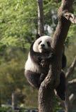 Panda cub sleeping on a tree.Version II. Photo of panda cub sleeping on a tree Royalty Free Stock Images