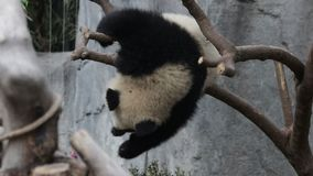 Panda Cub sta giocando sull'albero, Chengdu, Cina stock footage