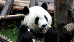 Panda Cub sveglio sta divertendosi mangiando il germoglio di bambù, Cina video d archivio