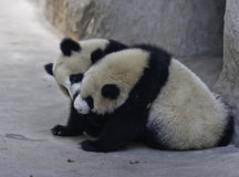 Panda Cubs. Two panda cubs are playing Royalty Free Stock Photography