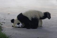 Panda Cubs Photos libres de droits