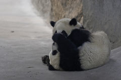 Panda Cubs Photo libre de droits