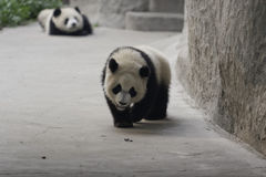 Panda Cubs. Two panda cubs are playing Royalty Free Stock Images