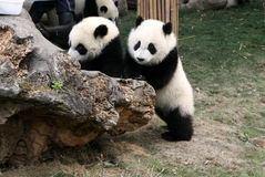 Panda cubs. Shot in Sichuan of China Stock Photos