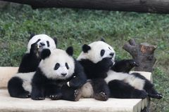 3 Panda Cubs espiègle à Chongqing, Chine photos stock