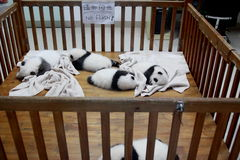 Panda cubs. Pandas cubs are lying in a infanette in Chengdu Research Base of Giant Panda Breeding which is a non-profit research and breeding facility for giant Royalty Free Stock Image
