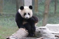 Playful Panda Cubs in Chongqing, China Stock Photos