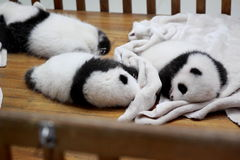Panda cubs. Three pandas cubs are lying in a infanette in Chengdu Research Base of Giant Panda Breeding which is a non-profit research and breeding facility for Royalty Free Stock Photo