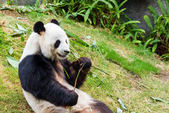 Panda. Stock Photo