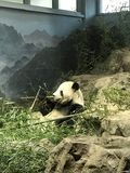 A panda from D.C. National zoo park. Mei Xiang eating her bamboo at stock photo