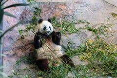 Panda dans le zoo images libres de droits